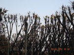 scorched Hoka trees Diu